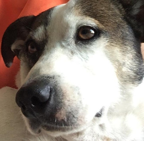 perrito raza pequeña - adopcion