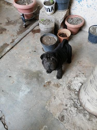 perrito sharpei