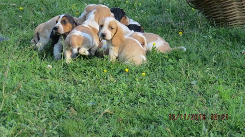 perritos basset hound ( hush puppies)