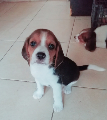 perritos beagles puebla