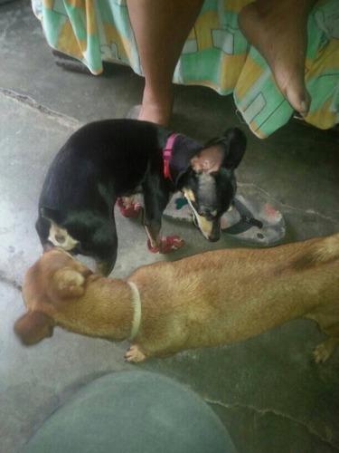 perritos pinchers
