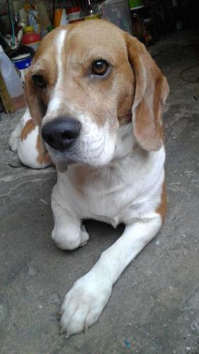perro beagle para servicio