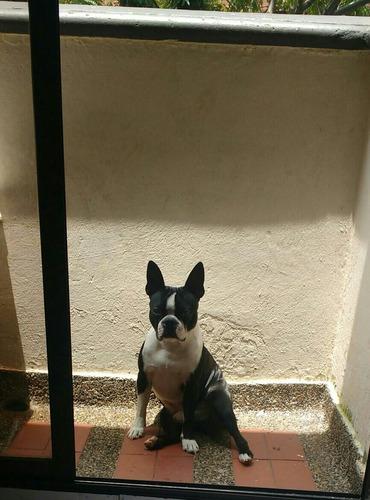 perro boston terrier para monta