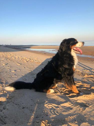 perro boyero de berna para cruzar
