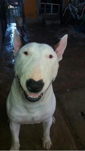 perro bull terrier para monta