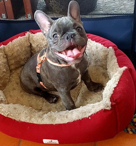 perro bulldog frances busca novia eje cafetero