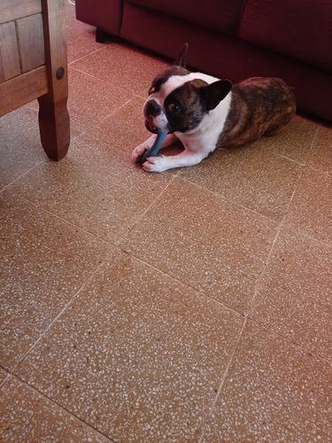 perro bulldog francés para monta