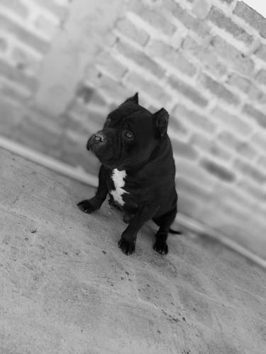 perro bully pocket pura sangre cruza