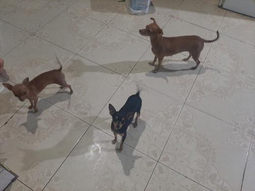 perro chihuahua macho para monta 50 $