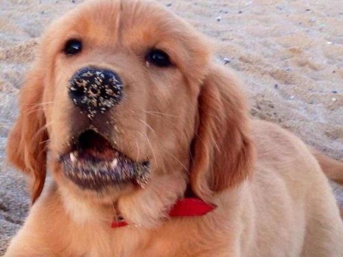 perro golden para monta