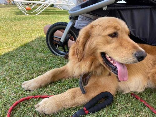 perro golden retriever macho para monta