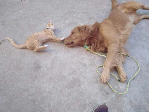 perro golden retriever para monta