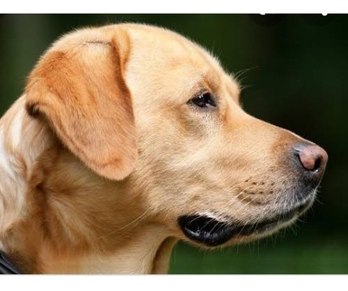 perro labrador semental