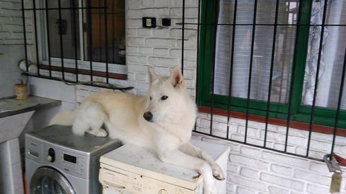 perro lobo americano hijo de tanka (lobo artico) busca novia