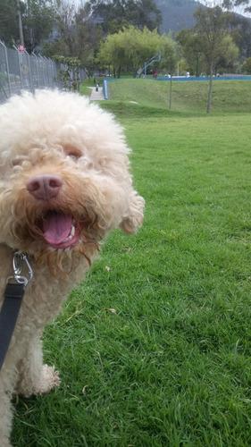 perro macho castellano, poodle dorado para servicio de monta