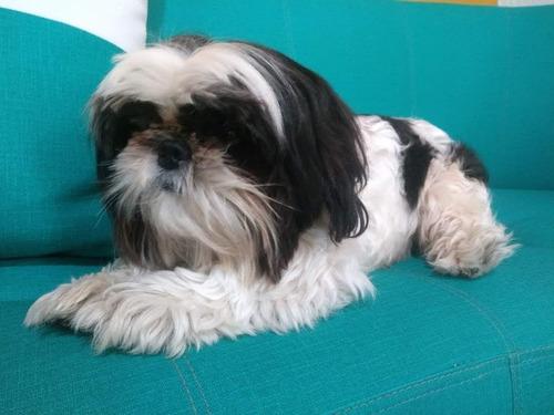 perro macho shih tzu mini para la monta