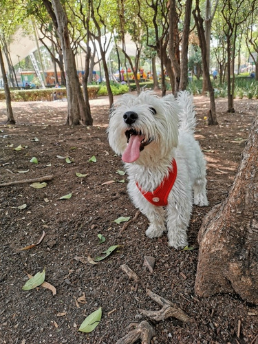perro para cruza (westie)