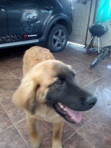 perro pastor velga por chau chau