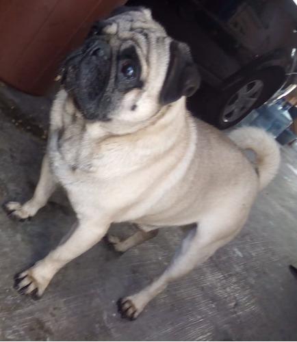 perro pug macho 18 meses entregas en cdmx y neza