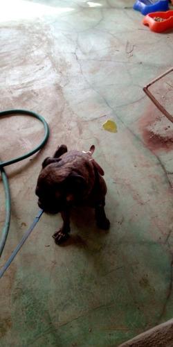 perro pug.negro moteado.1.6 años.