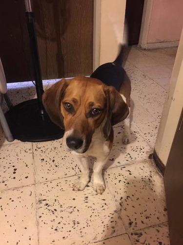 perro raza beagle para maquila
