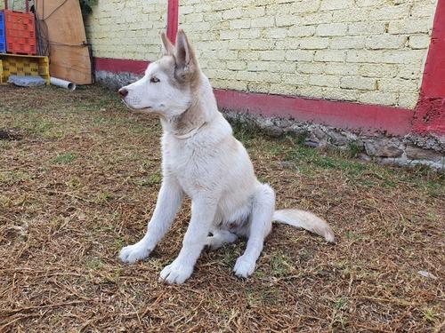 perro raza husky