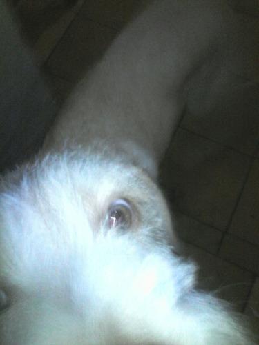 perro raza labrador