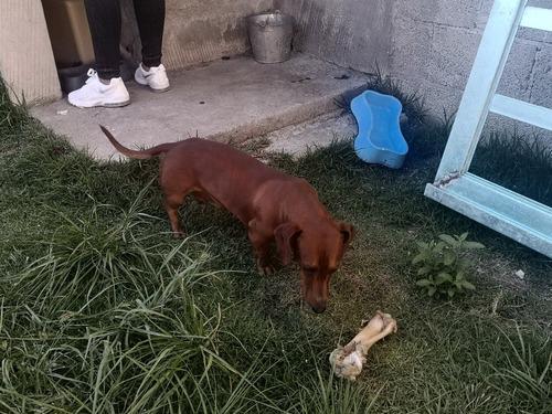 perro salchicha macho para cruza