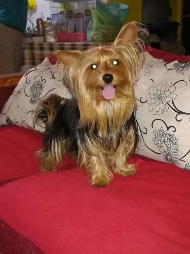 perro yorkshire para cruza.