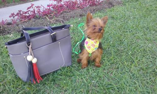 perro yorkshire terrier para monta