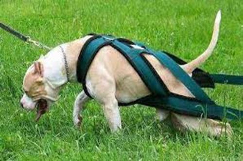 perros arnés pulling (arrastre y/o tiro)