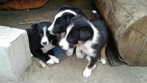perros border collie