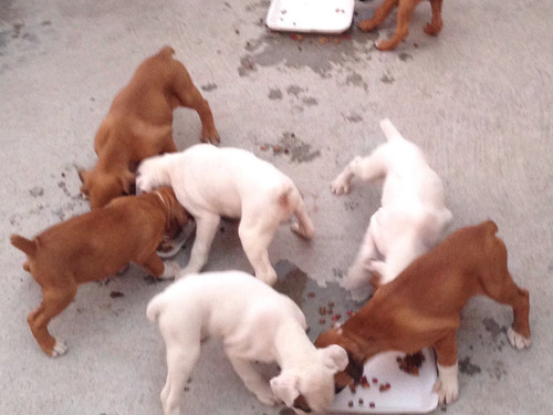 perros bóxer