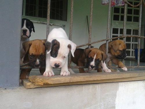 perros boxer, vacunados, desparacitados.