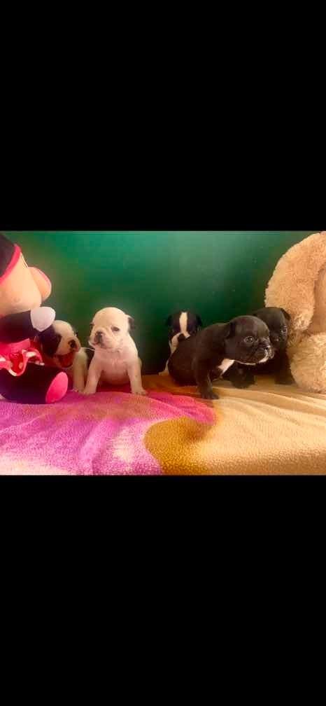 perros bulldogs francés