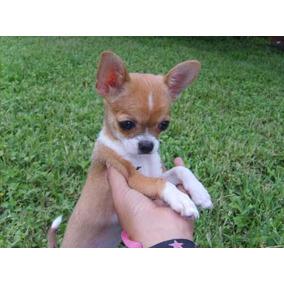 c274924efeed5 Hermosos Chiweenie (cruza De Salchicha Con Chihuahua) Xalapa - Perros Perros  y Cachorros Chihuahua en Mercado Libre México