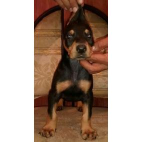 9a31a0a6a775d Cachorro Chiweenie - Perros y Cachorros en Mercado Libre México