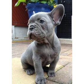 28887fa4f7a96 Perro Bulldog Frances - Perros y Cachorros en Mercado Libre México