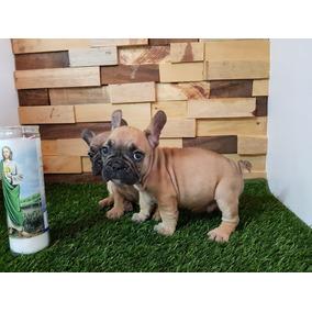 2a19e796ab2f3 Perros Bulldog Frances Cachorros - Perros y Cachorros en Mercado Libre  México