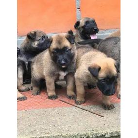 771cd489f6d36 Precio Cachorro Chiweenie - Perros y Cachorros en Mercado Libre México