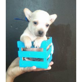b89e99e111f4b Perro Salchicha Cruzada Con Chihuahua - Perros y Cachorros en Mercado Libre  México