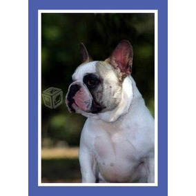 0f0c1663b18d5 Bulldog Frances Colores Exoticos - Perros en Mercado Libre México