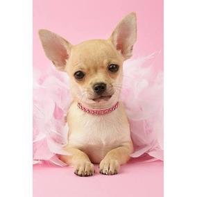 0aa3326e1f451 Perro Chihuahua Negro - Perros y Cachorros en Mercado Libre México