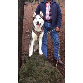 283c18cc81bd8 Hermosos Chiweenie Cruza De Salchicha - Perros y Cachorros en Mercado Libre  México
