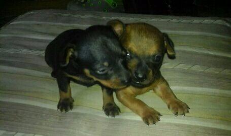 perros cachorros pincher