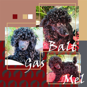 Perros Caniches Toy Negros Cachorro Macho Pedigree Poodle