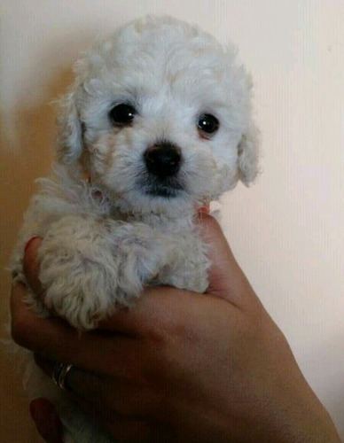 perros french poodle