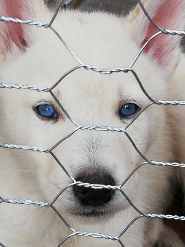 perros husky
