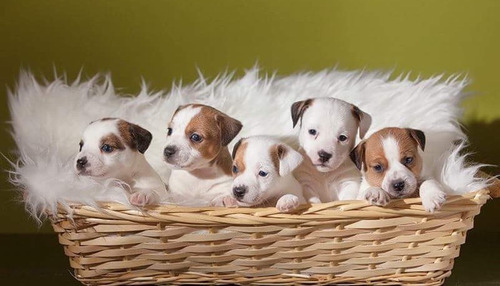 perros jack russell