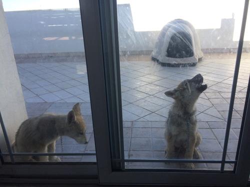 perros lobos híbridos wolf dog